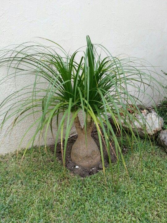 jardim gramado com biucarnea pequena