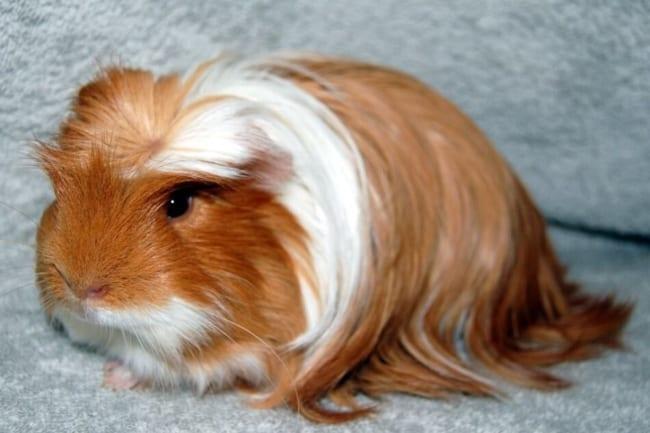 porquinho da india de pelo longo e liso