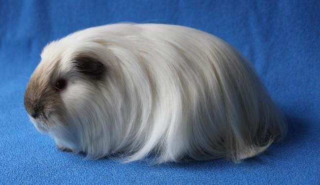 porquinho da india branco de pelo longo e liso