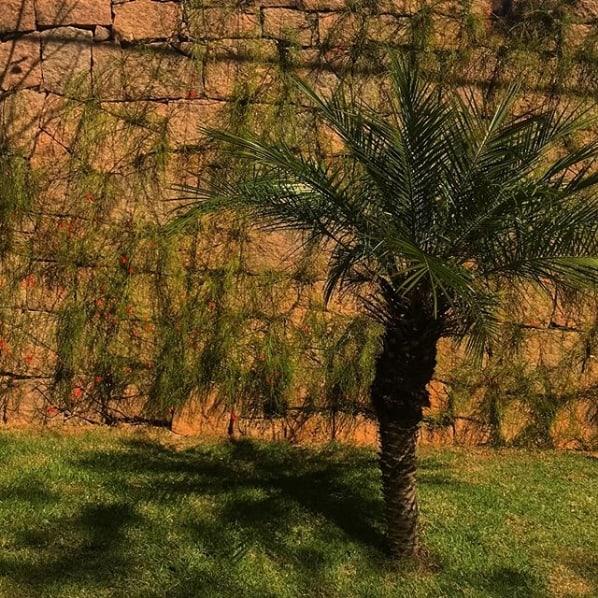 como cuidar de palmeira fenix