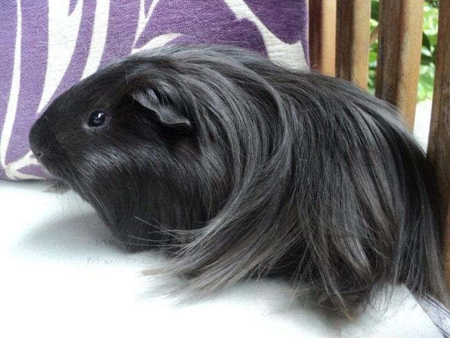 porquinho da india preto de pelo longo