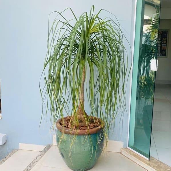 vaso vietnamita com planta pata de elefante