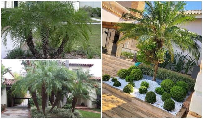 jardinagem com palmeira fenix