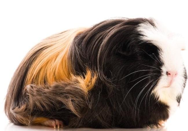 raca de porquinho da india Coronet