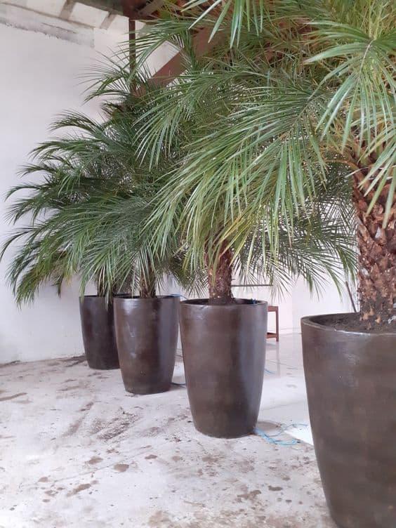 palmeira fenix em vaso