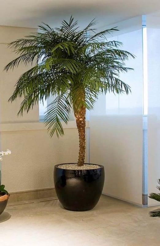 vaso de palmeira ana dentro de casa