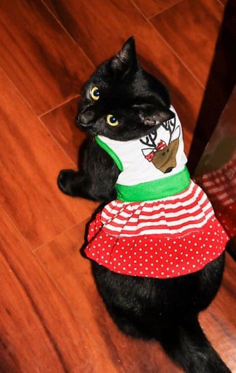 gatinha com vestido para pet