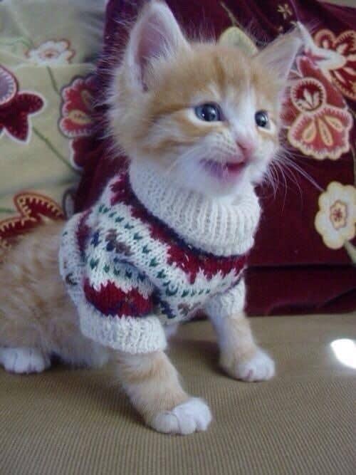 filhote de gato com roupinha de inverno