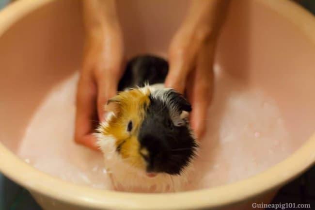 cuidados de higiene com porquinho da india