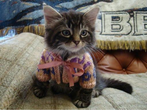 filhote de gato com roupa estilo casaco