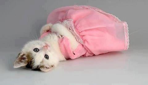 filhote de gato com roupinha