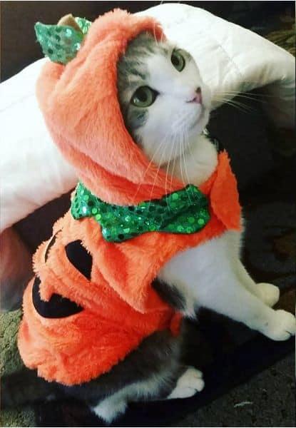 gato com fantasia de abobora para halloween