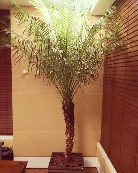 palmeira phoenix dentro de casa