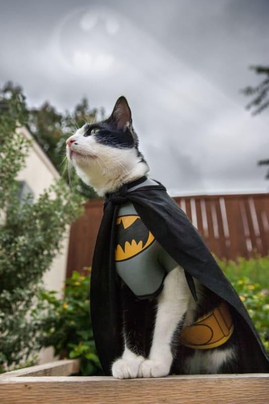 gato com roupa fantasia do Batman