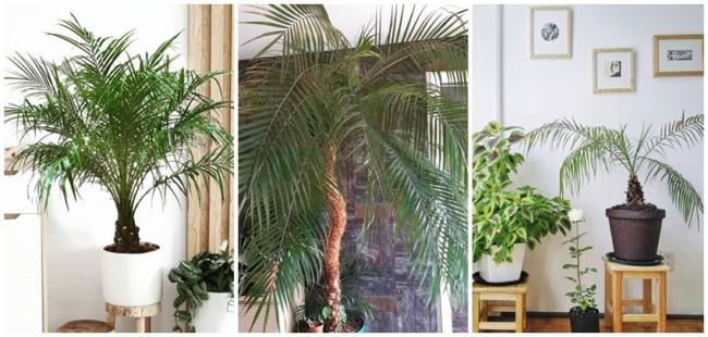 como usar palmeira fenix em vaso na decoracao