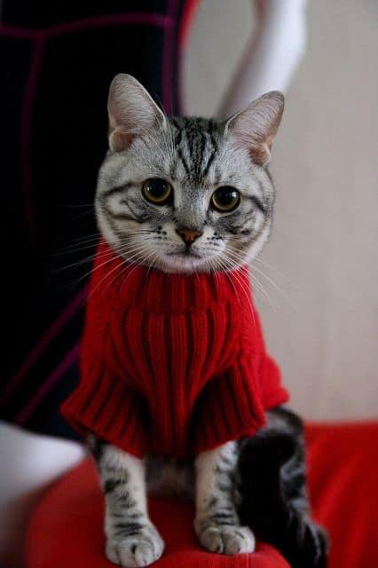 gato com roupinha de inverno vermelha
