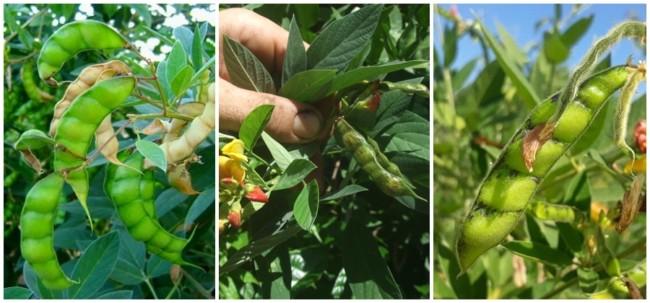 como plantar e cultivar feijao guandu