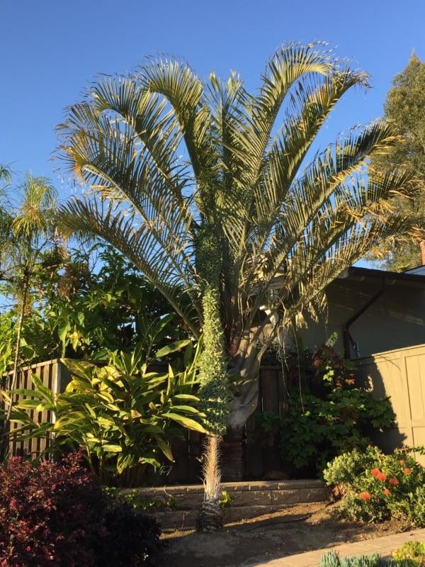 A palmeira triangular pode dar um toque diferenciado ao jardim