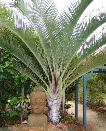 A palmeira triangular possui tracos esteticos marcantes