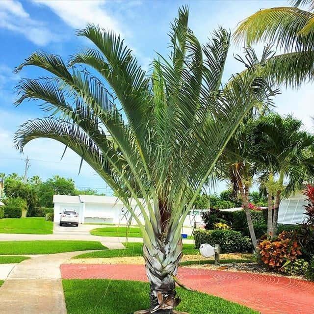 Belissima palmeira triangular