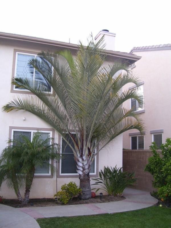 Jardim com palmeira triangular em destaque