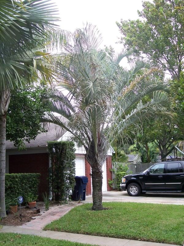 Jardim com palmeira triangular