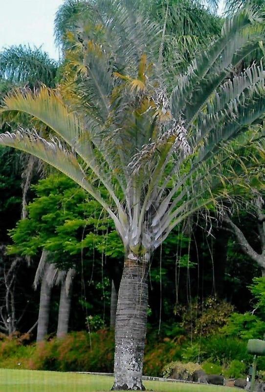 Linda palmeira triangular