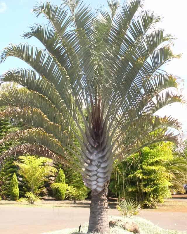 Modelo de palmeira triangular como otima opcao para paisagismo