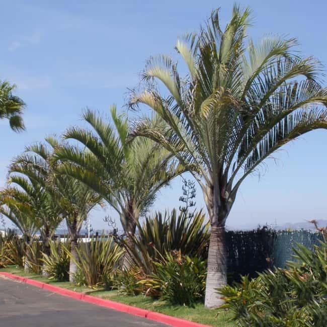 Muito comum ver paisagismo com palmeira triangular em estradas