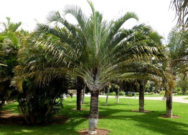 Paisagismo com palmeira triangular