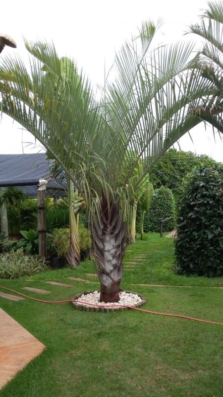 Paisagismo no jardim com palmeira triangular