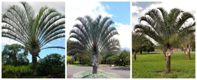Palmeira triangular 1