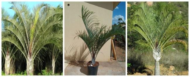 Palmeira triangular 2