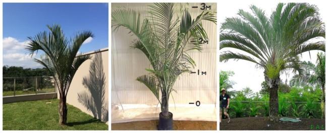 Palmeira triangular 3