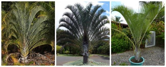 Palmeira triangular 4