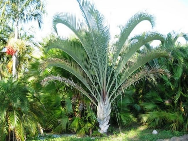 Palmeira triangular de boa estatura no jardim
