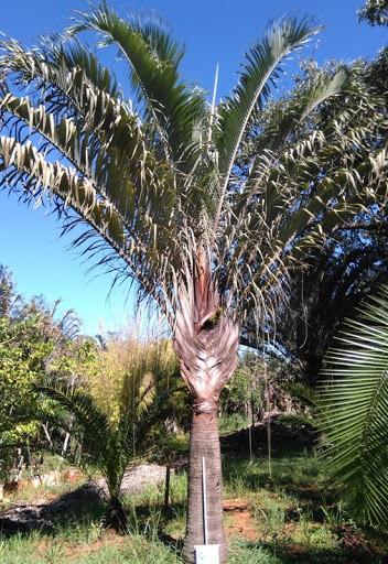 Palmeira triangular e popularmente utilizada no paisagismo