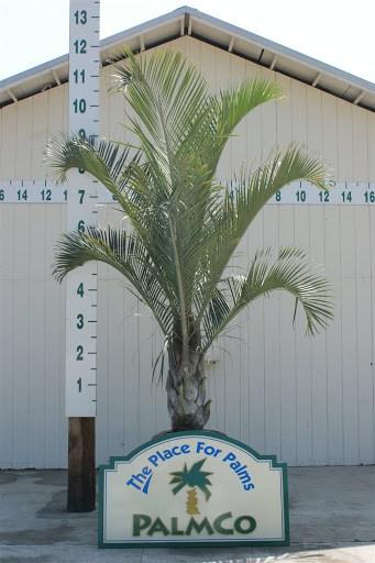 Palmeira triangular e uma planta muito utilizada em locais publicos principalmente pela sua resistencia e beleza