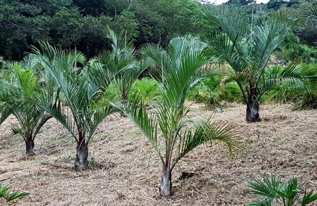 Palmeira triangular na fase de crescimento