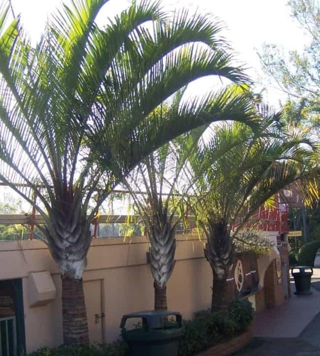 Palmeira triangular no paisagismo