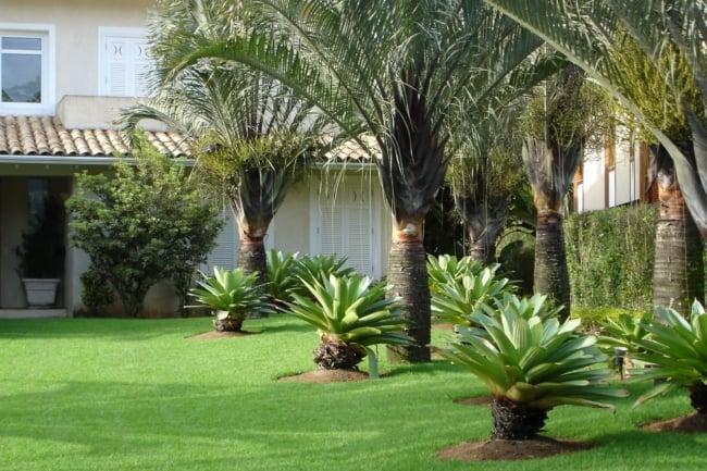 Palmeira triangular pode fazer parte de um belo projeto paisagistico