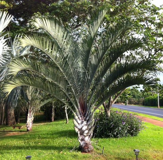 Palmeira triangular pode ser empregada na decoracao de pracas e parques