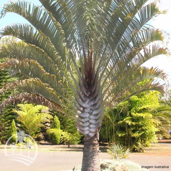 Palmeira triangular tras a sensacao de proximidade da praia