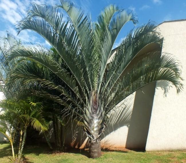 Tipo de palmeira triangular no jardim