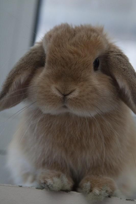caracteristicas de mini coelho