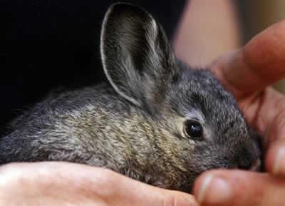raca rara de mini coelho