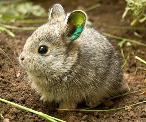 coelho anao raro da raca pigmeu