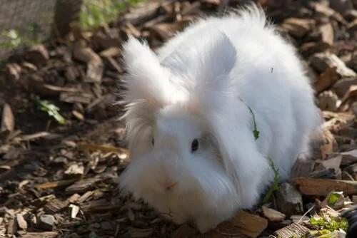 mini coelho angora ingles de pelo branco