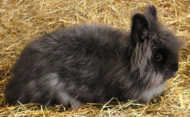 dicas e racas de mini coelho