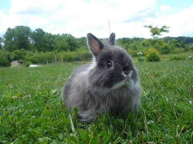 mini coelho cinza da raca Jersey Wooly